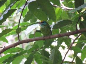 A yellow-fronted barbet in the forest