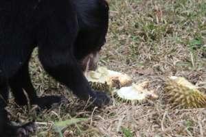 train Uca diging the durian