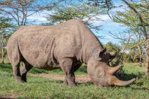 Baraka, our blind rhino, requires 24h protection
