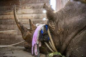 Lewa southern white rhino bull being translocated