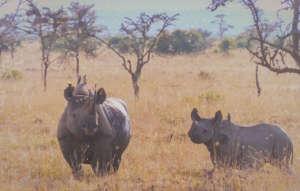 We have 145 black rhinos on Ol Pejeta today