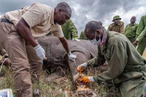 An injured rhino was treated immediately