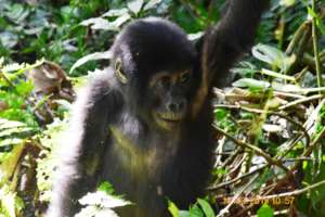 COVID-19 related poaching surge threatens Gorillas