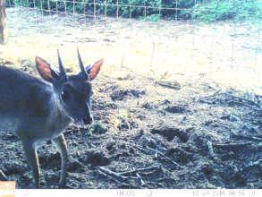 Rare Suni-antelope photo on our night cam camera