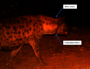 hyena entered with snare