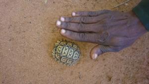 Rare Wildlife protected - tiny Hinge Back Tortoise