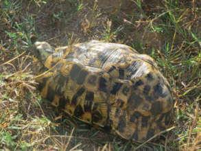 Hinge Back Tortoise