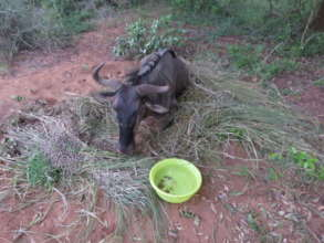 Injured Wildebeest snared