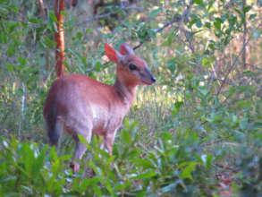 Urgent - Prevent poaching crisis due to COVID-19