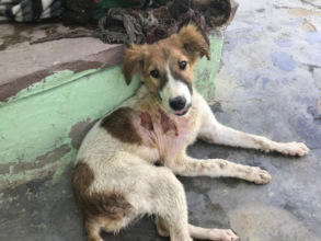 Young dog with dog bite wound from fight over food