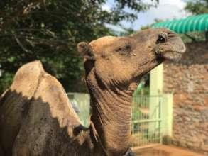An older camel, found abandoned, now safe at TOLFA