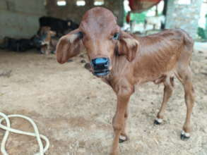 Orphaned calf found wandering alone, now at TOLFA