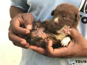 Tiny puppy after a successful hernia operation