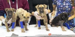 Injured puppies under examination