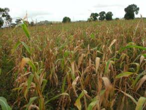cornfield ready for harvest