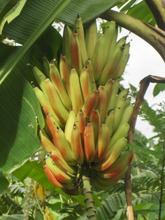 Healthy and robust plantains