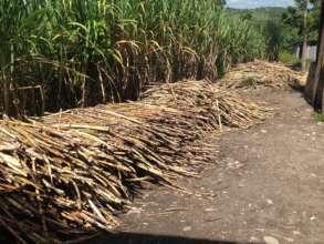 Harvest the cane