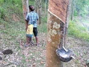 Rubber tapping at Asokapura Farm