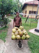 Susanthe collecting coconuts