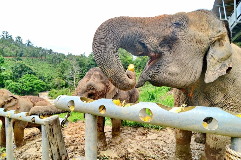 Protecting Thai elephants from COVID-19 effects