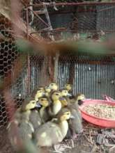 One of our first chicken coops