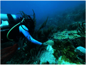 Stony Coral Tissue Loss Disease- antibiotic paste