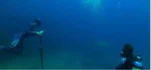 Shark tagging underwater