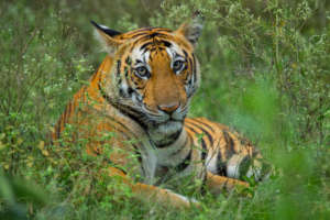 Protect the Malayan Tiger and restore its habitat