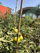 Tomate plant with fruit.