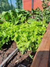 Lettuce growing!