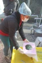 This is how spirulina is produced and collect