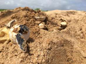 Helping sea turtles make it to the water