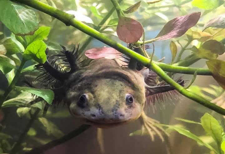 Create a refuge for the Axolotl in Xochimilco