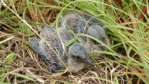 Scaly Naped Pigeon Hatchlings on Maria Major