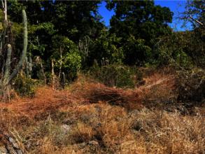 Dry invasive grasses on reforestation site