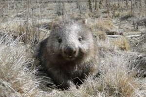 Wombat Echo