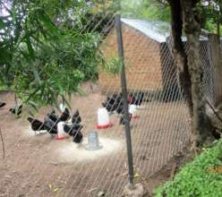 Tiko's Black Australobe chickens with a new fence