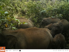 Herd of Asian elephants in the Cardamom Mountains