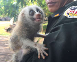 Slow loris rescued from the illegal pet trade