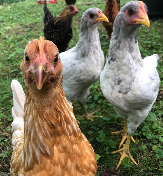 Poultry Farming for Afghan Women