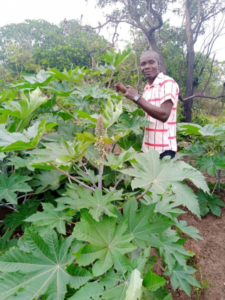 Sustainable Castor Beans farming in Nigeria