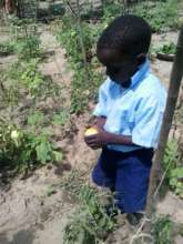 Jerome Awuoth inspects his tomato harvest