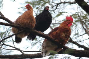 Profe Iris' Hens in the tree in Camasca