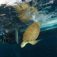 Turtle Fighting through ocean trash