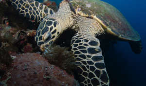 Sea Turtle Eating on the Reef