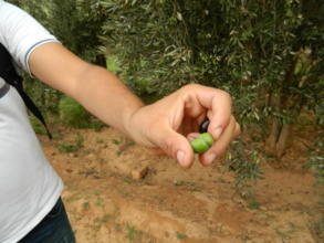 A close up on the olives of Ougoug