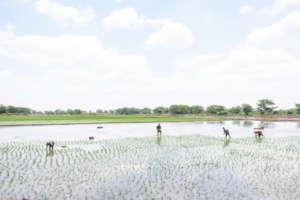Rice Fileds, Miguel Seminario