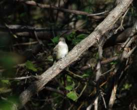 Willow flycatcher on Nicaragua Global Big Day May