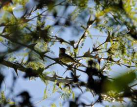 Willow flycatcher in the 'sarza'