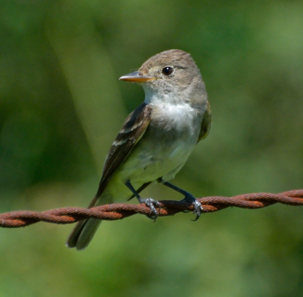 Save an endangered southwest willow flycatcher